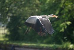 heron flying across canal